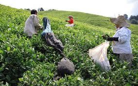طرح پیشنهادی توسعه خوشه صنعتی چای در شرق استان گیلان