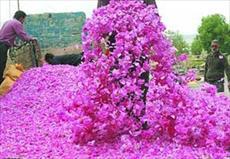 طرح توجیهی فنی، مالی و اقتصادی باغ گل محمدی 10 هکتاری به صورت آبیاری قطره ای